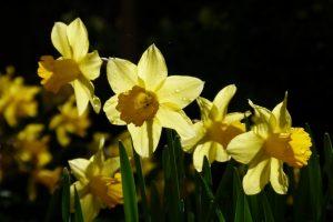 Narzissen leuchten im Sommenlicht,Frühlingsmensch