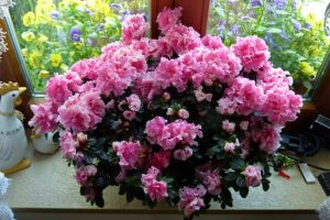 Azalee in rosa