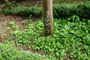Bärlauch unter dem Pflaumenbaum im Garten