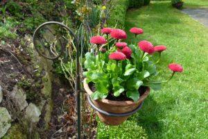 Bellis im Blumentopf