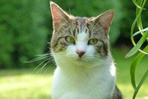 Die getigerte Katze Paula liegt im Gras