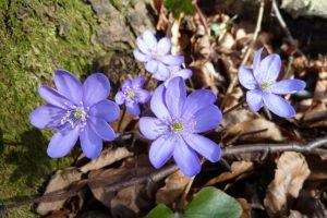 Leberblümchen im Frühling im Wald