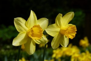 Gelbe Narzissen im Garten