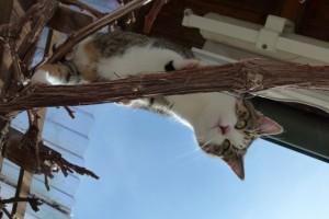 Katze Paula sitzt im Weintraubenstock