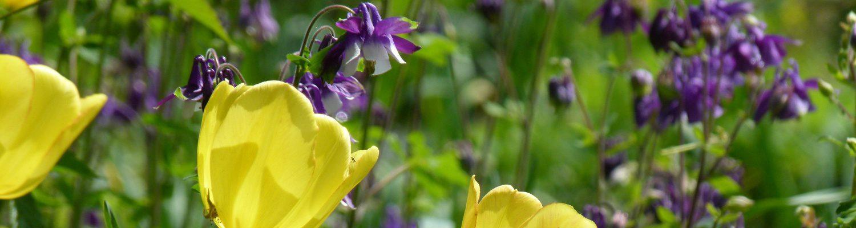 Gelbe Tulpen und lila Akeleien