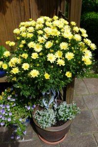 Gelbes Margeritenbäumchen im Topf