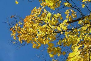 Goldenes Herbstlaub im Sonnenlicht