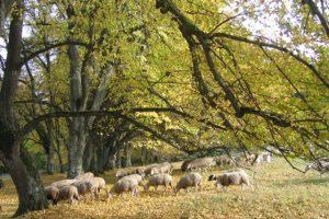 Schafherde im Herbst auf Trockenrasen