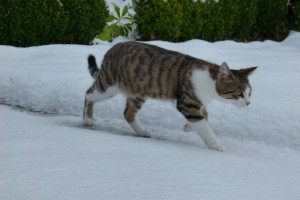 Katze Paula läuft im Garten im Schnee