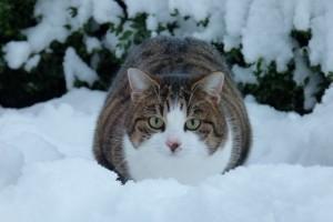 Die Katze Paula liegt entspannt im Schnee
