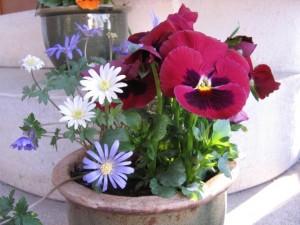 Frühlingsdekoration mit wunderschönen Annemonen und Stiefmütterchen