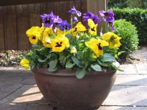 Frühlingsdekoration Schale mit Hornveilchen in gelb und lila