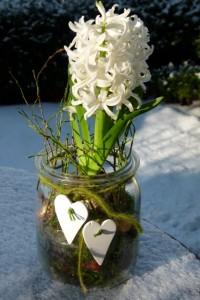 Weiße Hyazinthe im Einmachglas dekoriert mit Wollschnur und Herzen