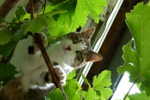 Katze Paula klettert im Weintraubenstock