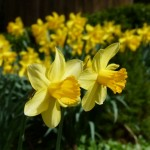 Narzissen im Garten  — Tipps zu Pflanzung und Pflege