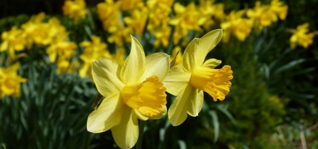 Narzissen im Garten Tipps und Pflege