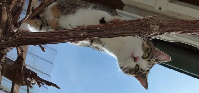 Katze Paula und der Weintraubenstock
