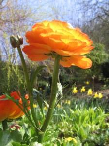 Ranunkel vor blauem Himmel - wunderschöne Frühlingsdekoration