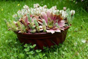 Kuchenform bepflanzt mit Sukkulenten
