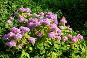 Pflegeleichter, robuster Dauerblüher Hortensie
