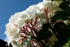 Mit weißen Blüten besonders edel - die Hortensie Black Steel