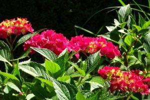 Hortensienblüte in kräftigem pink