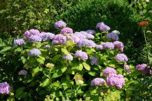 Hortensien sind ausdauernde Blüher