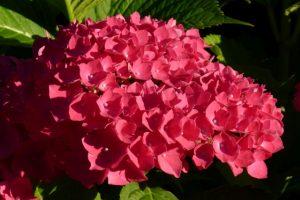 Besonders schöne pinke Hortensienblüte