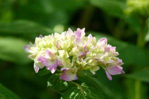 Die Hortensienblüte hat anfangs wenig Farbe