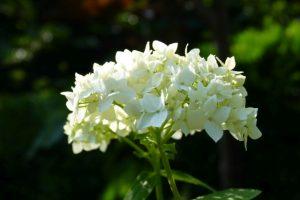 Weiße Gartenhortensie Annabell