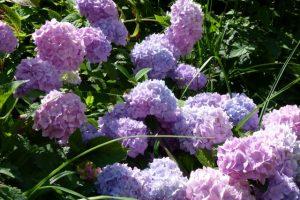 Die Hortensie Endless Summer bringt sehr viele Blüten hervor