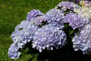 Wunderschöne Gartenhortensie Blue Ballad