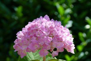 Wunderschöne Hortensienblüte in rosa
