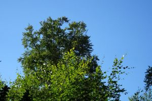 Baumwipfel und blauer Himmel im Sonnenlicht