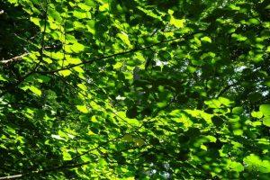 Die Sonne scheint auf die Blätter einer Buche und lässt sie erstrahlen