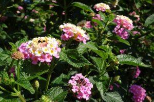 Rosa Wandelröschen auf der Insel Mainau