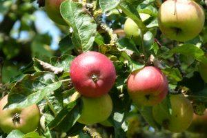 Sind die Äpfel pflückreif, werden sie geerntet