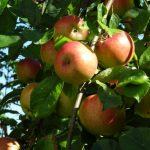 Der Apfel - gesund und vielseitig