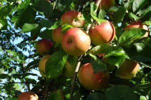 Viele wunderbare Äpfel hängen am Baum