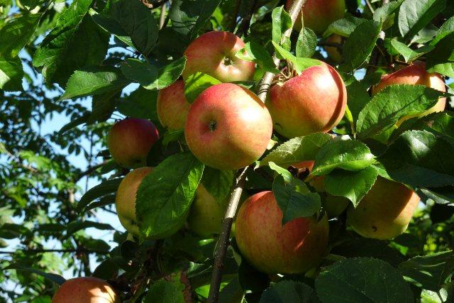 Der Apfel — gesund und vielseitig