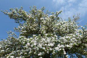 Unzählige, kleine Blüten verzaubern einen Apfelbaum