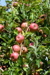 Rote Äpfel am Apfelbaum