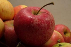 Die Äpfel der Sorte Pinova sind süß und knackig