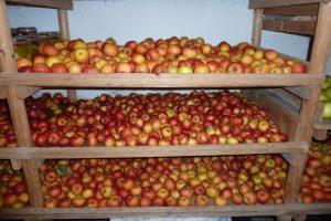 Im kühlen, dunklen Keller werden die Äpfel auf Regalen gelagert