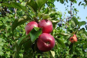 Viele Äpfel hängen am Baum
