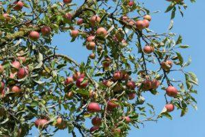 Unzählige rote Äpfel hängen am Baum