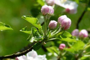 Zartrosa Knospen der Apfelbaumblüten