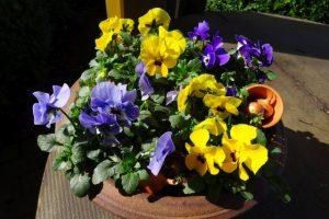Dekoration Frühling - Schale mit Hornveilchen in gelb und blau mit Deko