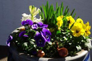 Hornveilchen und andere Frühlingsblüher im Schmalztopf