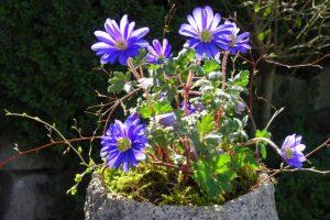Dekoration Frühling - Annemone im Steintopf mit Moos und Reisig